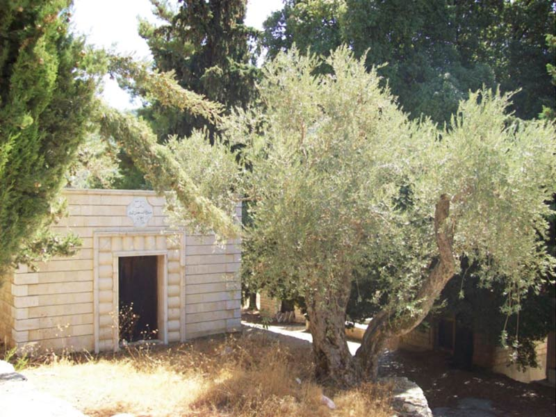 Olive trees in Mukhtāra Druze cemeteries, also quite frequent in both Druze and Christian cemeteries. Photo: Salma Samaha, 2008.