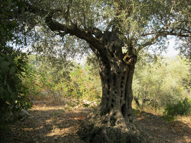 An olive tree deemed sacred at a Druze pilgrimage site in the Shūf mountains, Lebanon. Photo: Gebhard Fartacek, 2016.